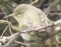 ...maybe chiffchaff or willow warbler.